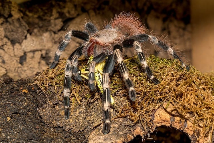 tarantula pet feeding