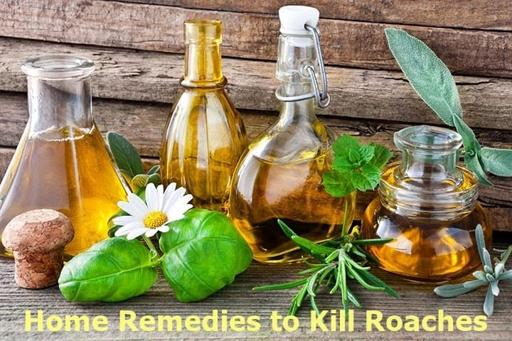 Home Remedies To Kill And Eliminate Roaches Insect Hobbyist