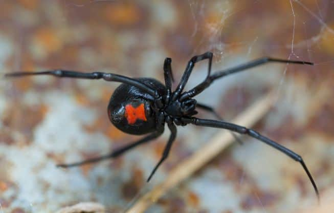 Black-Widow-Spiders